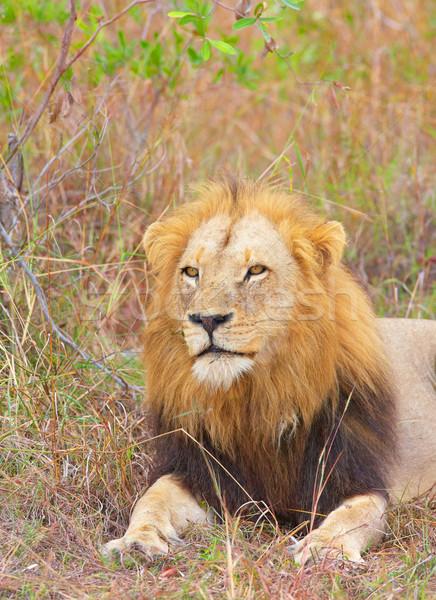 Aslan Güney Afrika doğa hayvan Stok fotoğraf © hedrus