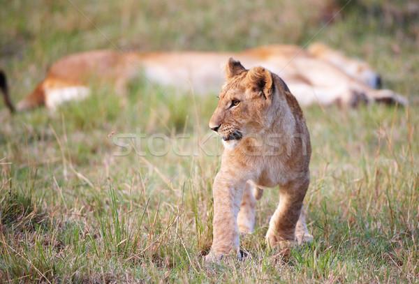 Aslan ayakta yakın anne Stok fotoğraf © hedrus
