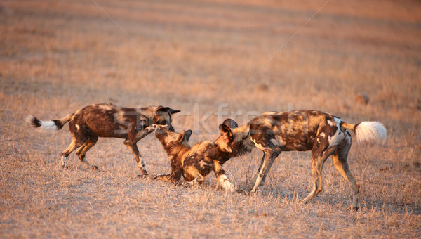Three African Wild Dogs (Lycaon pictus) Stock photo © hedrus