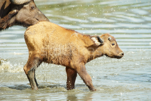 Buffalo (Syncerus caffer) calf with his mother Stock photo © hedrus