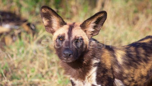 Afrika köpek tehlikedeki türler Afrika Stok fotoğraf © hedrus