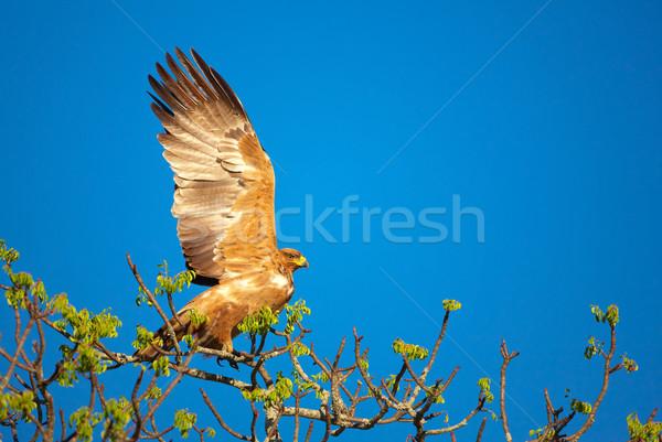 Tawny Eagle (Aquila rapax) Stock photo © hedrus