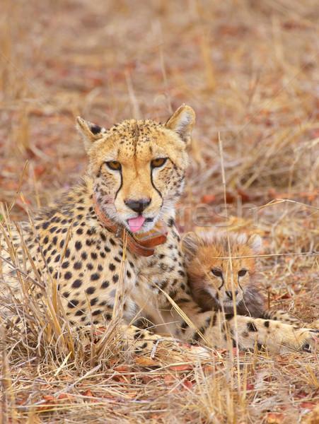 Gepárd medvebocs anya szavanna Dél-Afrika természet Stock fotó © hedrus