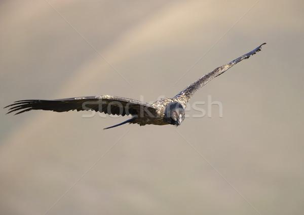 Szakállas dögkeselyű juvenilis repülés néz zsákmány Stock fotó © hedrus