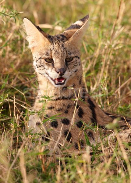 Afrika kedi oturma Güney Afrika Stok fotoğraf © hedrus
