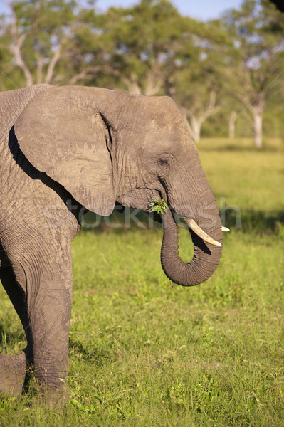 большой слон бык еды природы резерв Сток-фото © hedrus