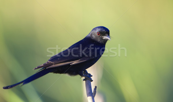 Square-tailed Drongo Stock photo © hedrus