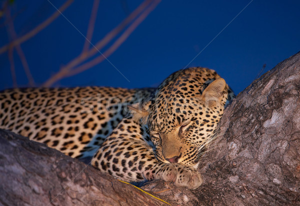 Leopard sleeping on the tree Stock photo © hedrus