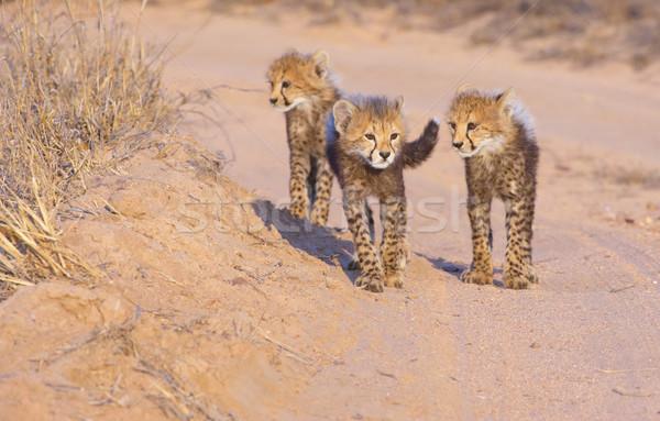 çita yürüyüş toprak yol Güney Afrika aile Stok fotoğraf © hedrus
