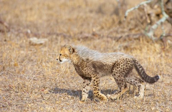 Gepárd medvebocs sétál szavanna Dél-Afrika természet Stock fotó © hedrus