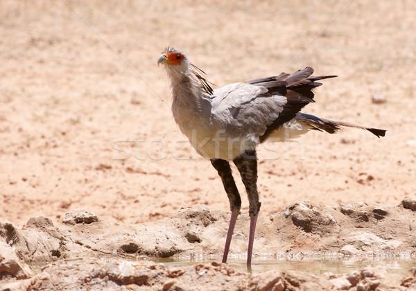 секретарь птица питьевая вода бассейна ЮАР воды Сток-фото © hedrus