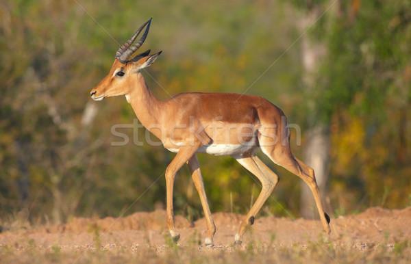 Single Red Impala Stock photo © hedrus
