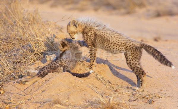 çita oynama Güney Afrika doğa ağız Stok fotoğraf © hedrus
