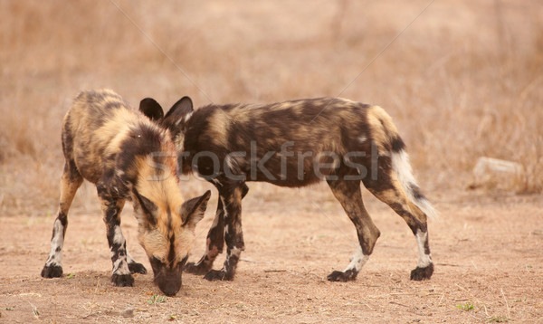 Couple of African Wild Dogs (Lycaon pictus) Stock photo © hedrus