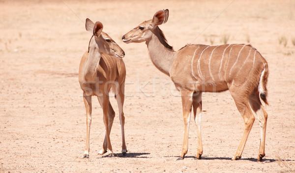グループ 立って 自然 リザーブ 南アフリカ 鹿 ストックフォト © hedrus