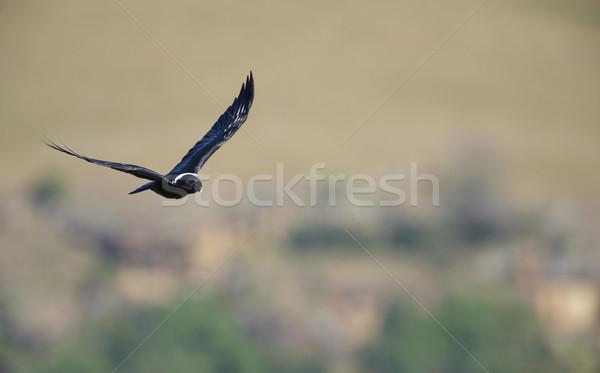 White-necked Raven Stock photo © hedrus