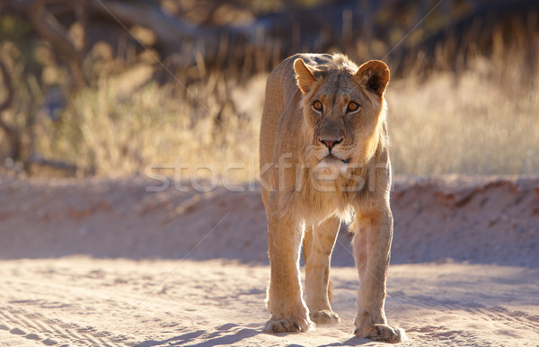 Lioness (panthera leo)  Stock photo © hedrus