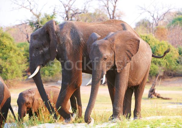 Nagy nyáj afrikai elefántok szavanna Botswana Stock fotó © hedrus