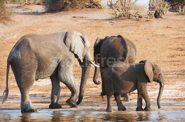 группа большой небольшой африканских Слоны питьевая вода Сток-фото © hedrus