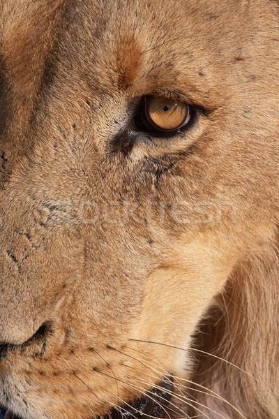 Aslan kafa doğa hayvan erkek Stok fotoğraf © hedrus
