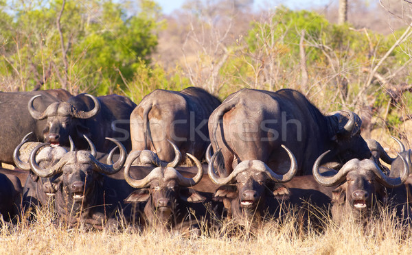 Buffalo (Syncerus caffer) in the wild Stock photo © hedrus