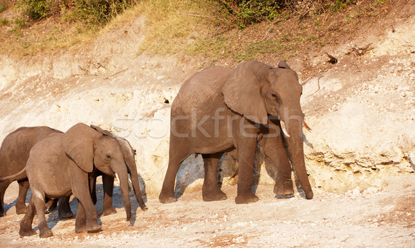 Large herd of African elephants Stock photo © hedrus