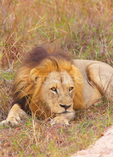 Aslan Güney Afrika doğa hayvan erkek Stok fotoğraf © hedrus