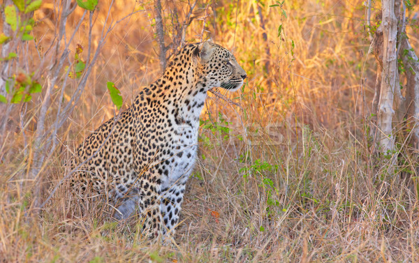 Stok fotoğraf: Leopar · doğa · rezerv · Güney · Afrika