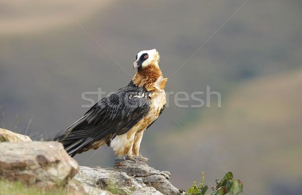 あごひげを生やした ハゲタカ 座って 岩 南アフリカ 山 ストックフォト © hedrus