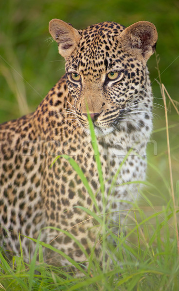Leopard sitting in the grass Stock photo © hedrus