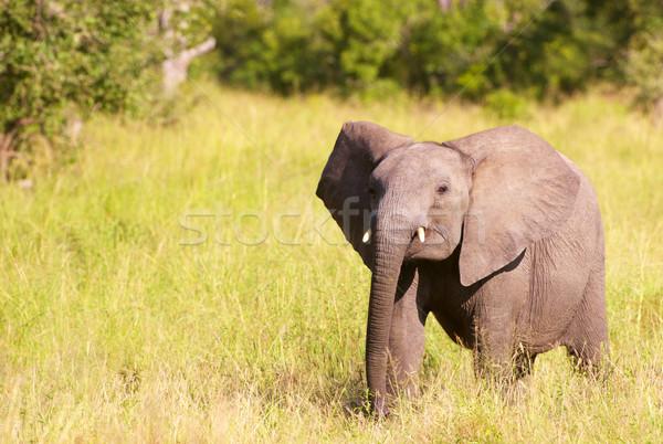 небольшой слон саванна ходьбе природы резерв Сток-фото © hedrus