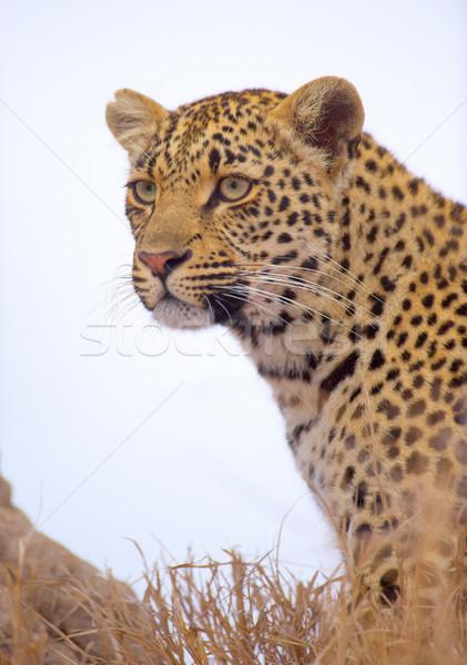 Leopárd ül fű természet tartalék Dél-Afrika Stock fotó © hedrus