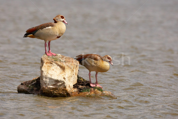 Egyptian geese (Alopochen aegyptiaca) Stock photo © hedrus