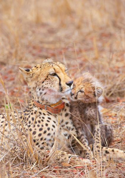 гепард матери саванна ЮАР ребенка Сток-фото © hedrus