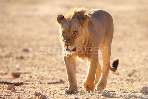 Leeuw savanne lopen South Africa natuur woestijn Stockfoto © hedrus
