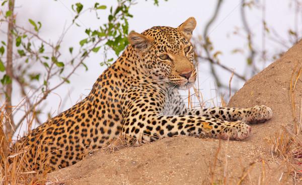 Leopárd pihen szavanna természet tartalék Dél-Afrika Stock fotó © hedrus