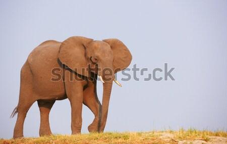 Foto stock: Grande · elefante · africano · touro · africano · elefantes · em · pé
