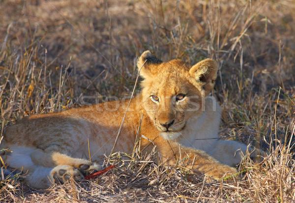 ライオン カブ クローズアップ サバンナ 南アフリカ 自然 ストックフォト © hedrus