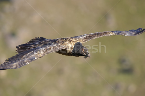 Lammergeyer or Bearded Vulture Stock photo © hedrus