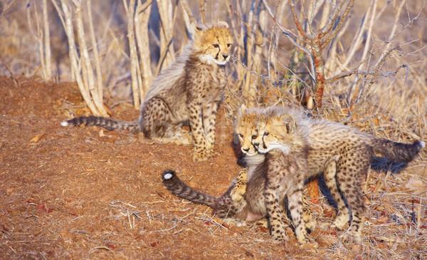 çita üç oynama Güney Afrika aile Stok fotoğraf © hedrus
