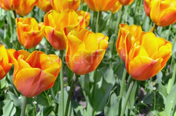 красный желтый тюльпаны весны красоту Tulip Сток-фото © HERRAEZ