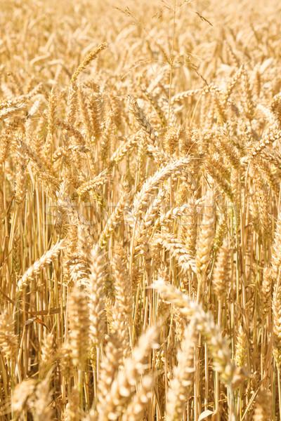 Field of wheat Stock photo © HerrBullermann