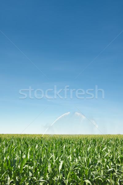 トウモロコシ畑 水まき かんがい 緑 ストックフォト © HerrBullermann