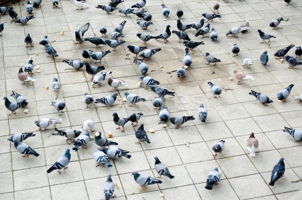 Galambfélék kenyér nagy szám galamb járda Stock fotó © HerrBullermann