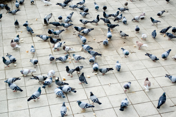 Countless doves pecking bread  Stock photo © HerrBullermann
