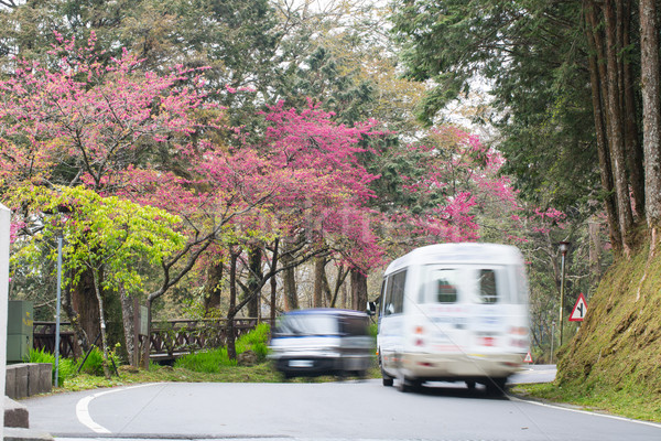Kersenbloesem naast weg bloem bloemen auto Stockfoto © hin255