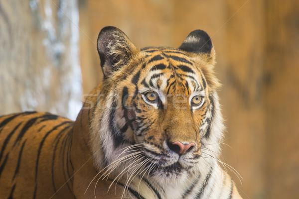 Bengal kaplan yüz hayvan doğal güzellik Stok fotoğraf © hin255