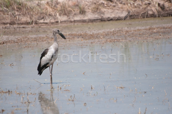 Open billed Stork bird, Anastomus oscitans Stock photo © hinnamsaisuy
