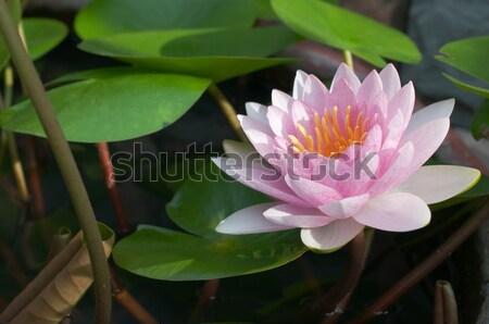 Roxo água lírio lagoa flor natureza Foto stock © hinnamsaisuy