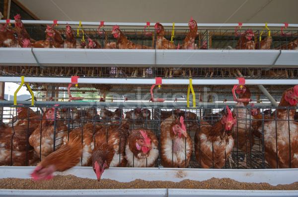 chicken farm Stock photo © hinnamsaisuy